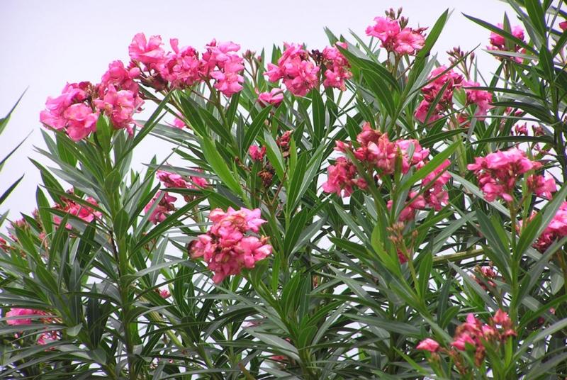 Hoa trúc đào có độc không? - Wildflowers