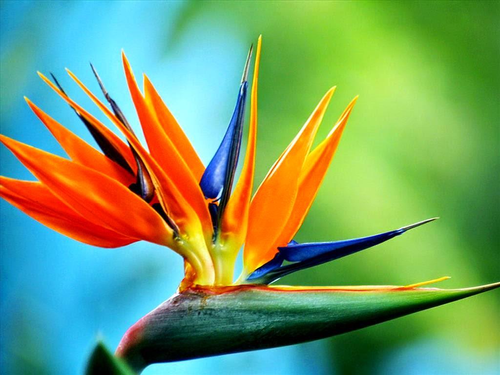 Hoa Thiên Điểu   Đại sứ cho tất cả loài hoa dại đẹp   Lio Flower